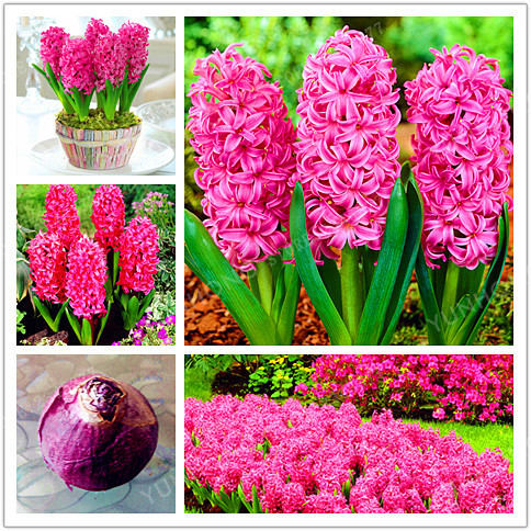 Bulbos de jacintos de alta calidad compra lotes baratos - Jacinto planta interior ...