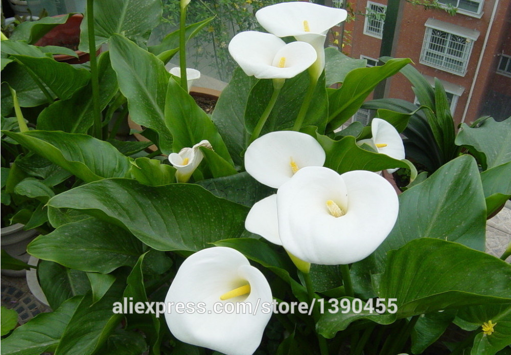 2015 New.100pcs Calla Lily seed,common callalily,planting seasons, flowering plants flower seeds+Free Rose Gift