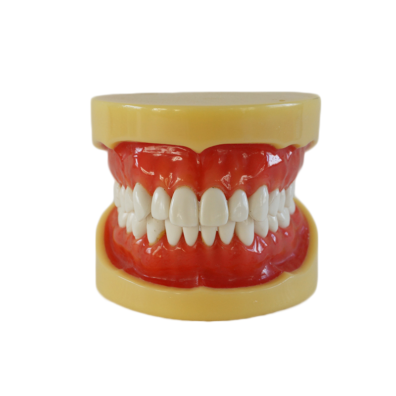 Dental Removable Standard Model Teeth Model with 28 teeth Without Articulator Soft Gum<br><br>Aliexpress