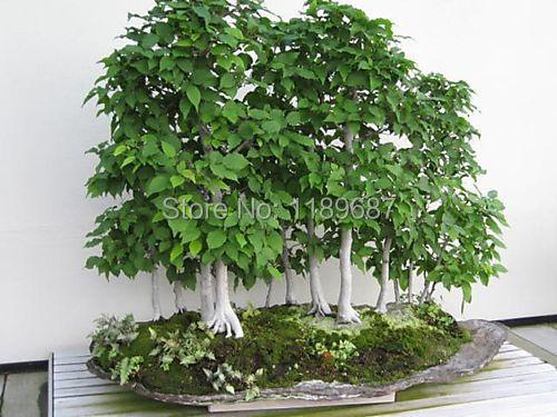 20 pcs bag birch seeds high quality bonsai birch seeds. Black Bedroom Furniture Sets. Home Design Ideas