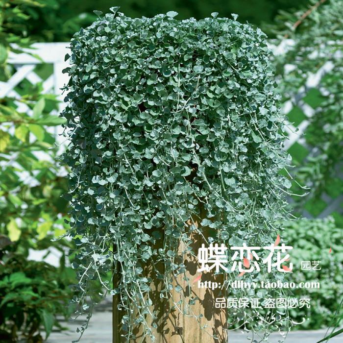Jade horseshoe gold the letoff 20 four seasons coins grass plants seeds money grass seeds indoor bonsai(China (Mainland))