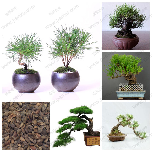 Pine Tree Seeds, Pinus Thunbergii Bonsai Seeds ,100% true seed in-kind shooting,60 pcs/bag(China (Mainland))