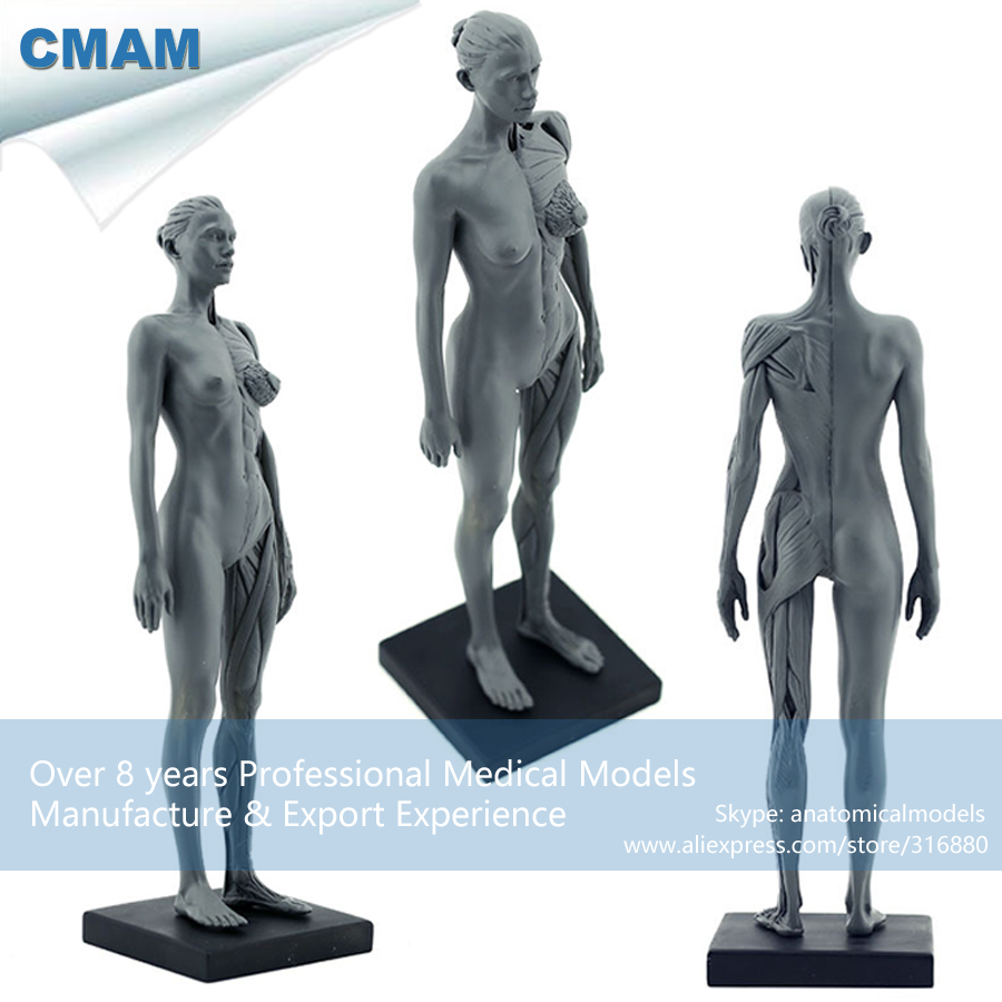 CMAM-PRC02 30cm Human Female Model Anatomy Skull Head Muscle Bone Medical Artist Drawing Skeleton for Sale(China (Mainland))