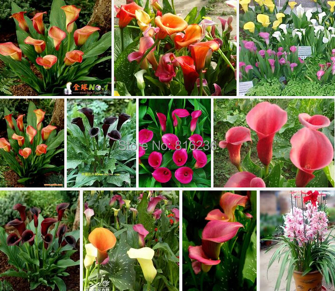 Promotions Bonsai and Colorful Calla Lily Seed Rare Plants Flowers Seeds not Calla Lily Bulbs 50