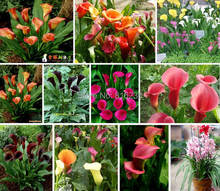 Free shipping bonsai and colorful calla lily seed, rare plants flowers, flower seeds -100 pcs Calla seeds