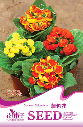 Hot selling 1 pack Calceolarias flowers seeds - calceolaria fancy 30 a150 flowerier bonsai seeds DIY home garden free shipping(China (Mainland))