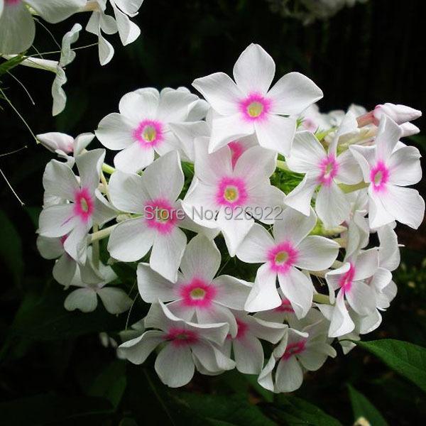 Комнатные флоксы цветы