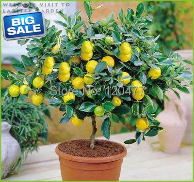 Lemon seeds Indoor outdoor BONSAI seeds Edible Yellow Lemon Tree Seeds organic food tea gift 100