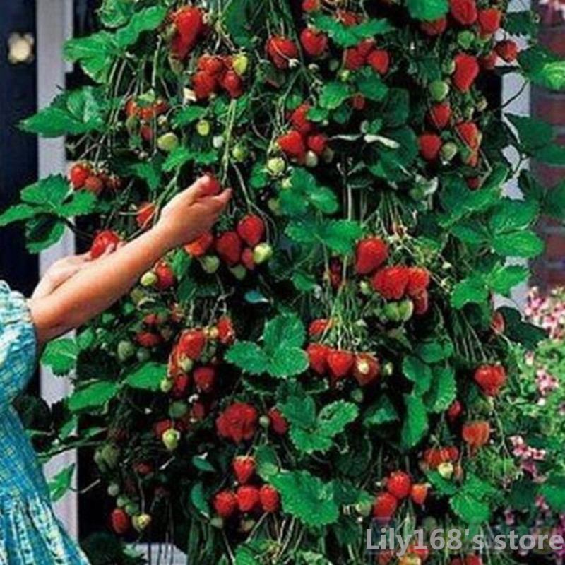 100 seeds/pack Giant Climbing Strawberry Seeds & Many varieties of Strawberry Fruit seeds home Garden DIY for bonsai(China (Mainland))