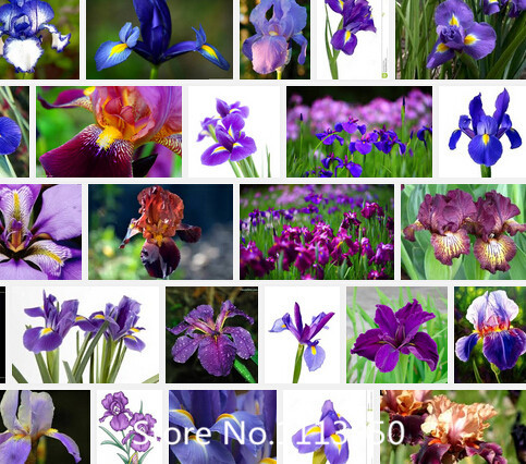 Promotion Iris Seeds Bold Colors Bearded Iris Collection Seeds Colorful Flower Seeds Pack Home Garden Flower Plants 100pcs Novel(China (Mainland))