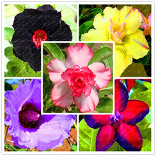 Buy Rare Desert Rose 10 seeds,mixed various Colors Selection,home Garden Perennial plant flowers, Bonsai tree garden supplies for $4.00 in AliExpress store