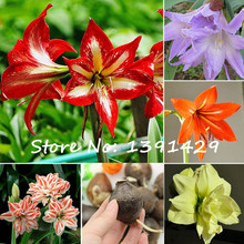 Buy 2 True Amaryllis Bulbs, Papilio Hippeastrum Bulbs, 24 Colors, Bonsai Barbados Lily, Potted Flower Bulbs, Garden Rhizome Plant, for $2.35 in AliExpress store