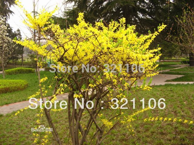 100 Good Effect Herb Weeping Forsythia~~~Free shipping!!(China (Mainland))