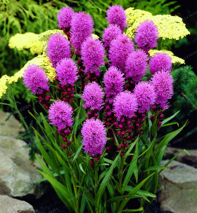 Flores celosia compra lotes baratos de flores celosia de Celosia para jardin