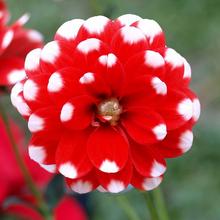 Buy 1 pcs Rare Red Dahlia Bulb Perennial Flower Seeds Bonsai Flowers Perennial Plant Home Garden for $1.50 in AliExpress store