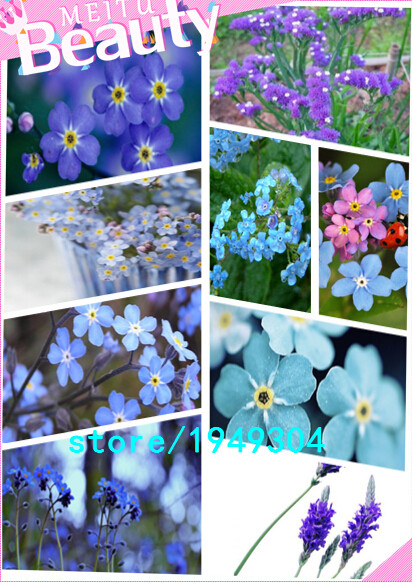 Do not forget me - potted flower seeds, yellow forget-me, easy to grow - 100 Seed particles(China (Mainland))