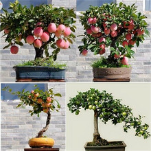 Buy Trial Product Bonsai Apple Tree Seeds 30 Pcs Apple Seeds (used Wet Sand Sprouting ) Fruit Bonsai Garden Flower Pots Planters for $1.11 in AliExpress store