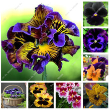 100 pcs  beautiful pansy seeds different Color wavy Viola Tricolor flower seeds bonsai pots DIY home & garden Free Shipping(China (Mainland))