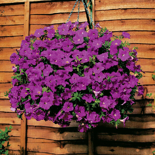 1Ba=100pcs rare seeds flower climbing hanging petunia flowers large flower morning glory plant rainbow color for home and garden(China (Mainland))