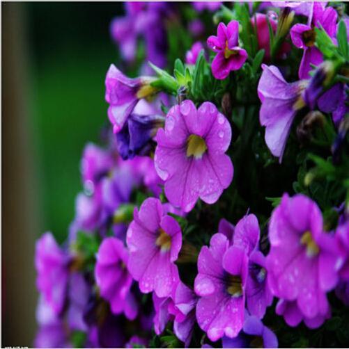 50 Grain/Bag Petunia Seeds mixing Low Petunia flower Organic Garden Plant Garden Supplies Bonsai(China (Mainland))