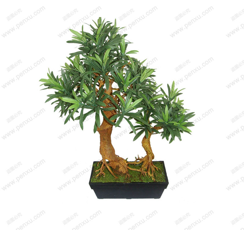 Podocarpus seed Bonsai seeds podocarpus tree 100 true seed in kind shooting 5 pcs bag