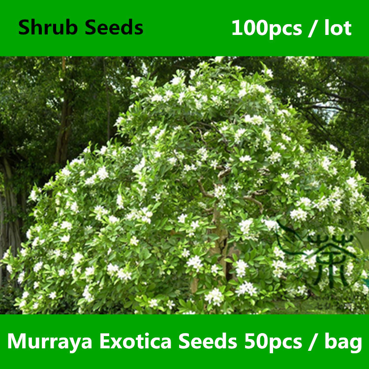 Chinese Box Murraya Exotica Seeds 100pcs, Lakeview Jasmine Murraya Paniculata Seeds, Honey Bush Mock Lime Orange Jessamine Seeds(China (Mainland))