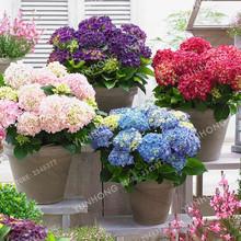 unidspack hydrangea semillas maceta balcn plantacin es simple mezclado hortensias flores