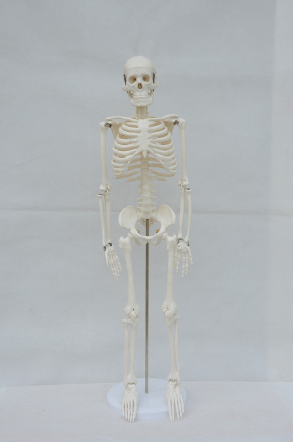 Free Shipping 85 cm human body skeleton model(China (Mainland))
