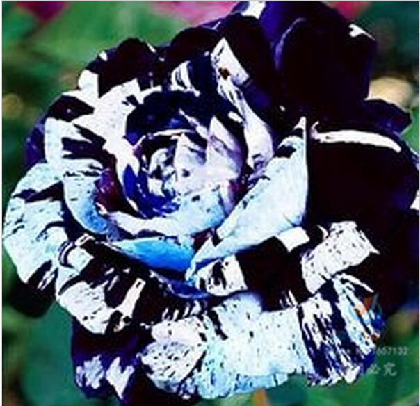 100 Blue Rose, Waldorf Rose Seeds , rare color,good for cut flower,beautiful flower. Free Shipping(China (Mainland))