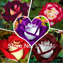Buy 50 New Rose Seeds,5 Different Colors Rare Osiria Rose,Professional Packing,Heirloom Chinese Rose Flower Seed for $1.07 in AliExpress store