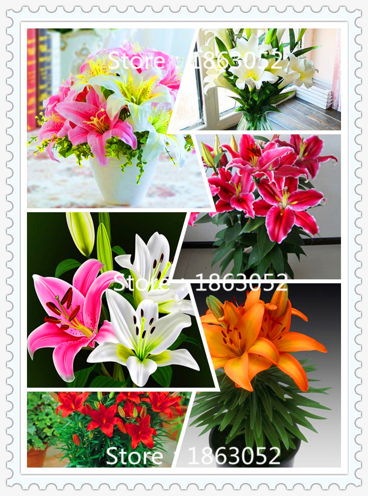 100 Pcs / Bag Plants Potted Lily Flower Seeds Flower Seeds Lily Perfume Purify Indoor Bonsai Air Mixing Colors(China (Mainland))