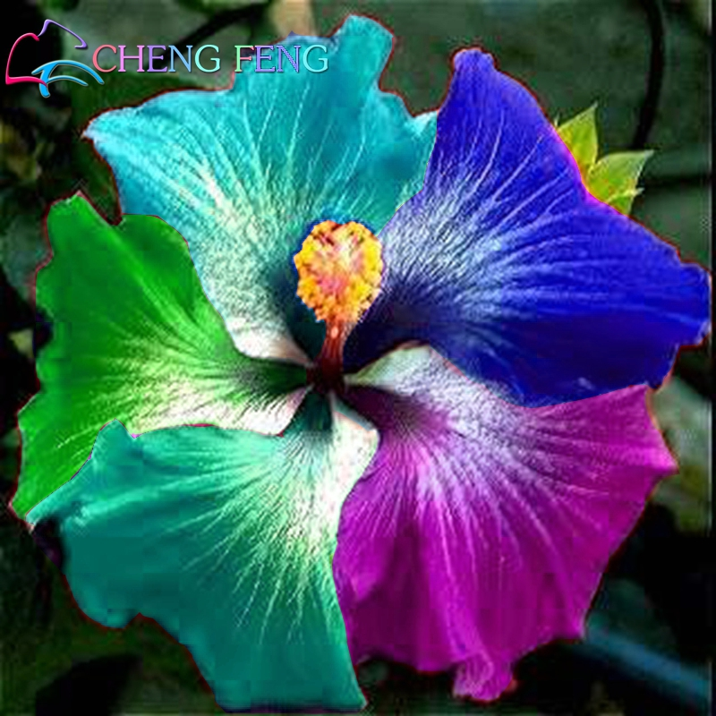 100 Pcs Giant Rainbow Hibiscus Flower Seeds Chinese Diy Plant Hibiscus Seeds Best Gift For Your Kids Easy Grow Home Garden Seed(China (Mainland))