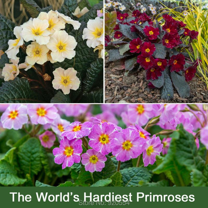 50pcs/lot Primrose,Primula vulgaris seeds Easy to grow, Bonsai potted plant DIY home garden free shipping(China (Mainland))