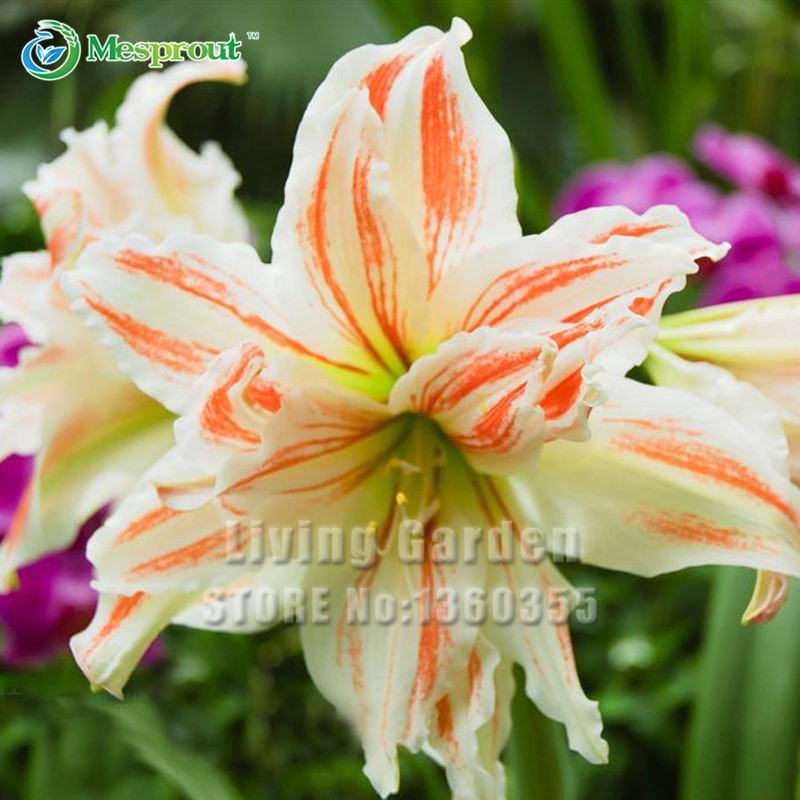 A Pack 50 Pcs Flower Record Hippeastrum Seeds Roof Terrace Garden Patio Garden Seeds Barbados Lily Flower Seeds Potted Bonsai(China (Mainland))