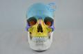DongYun brand Coloured human skull model skeleton model Medical Science teaching supplies
