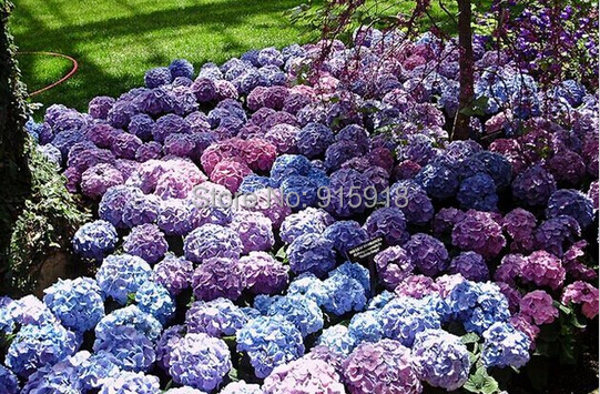 Flower seeds, hydrangea Hydrangea 5mixed seed garden plants bonsai Fort Viburnum,bonsai seeds - Life Store store