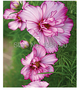 Double Take Cosmos.A spectacular show of flowers all summer long.Flower seeds For Home Garden.Bonsai Plants&Decoration--50seeds(China (Mainland))