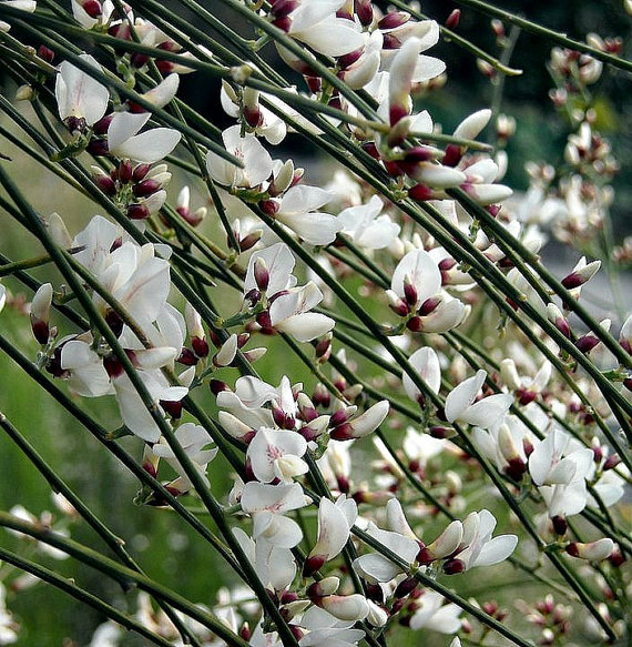 Bridal Veil Broom, Genista monosperma, tiny fragrant blooms, fluffy white shrub, drought tolerant, honey bees, great cut flower(China (Mainland))
