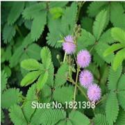 HoT Rare Bonsai Rose & Pink Azalea Seeds Looks Like Sakura Japanese Cherry Blooms Sims Azalea Flower Seeds 200PCS Free shipping
