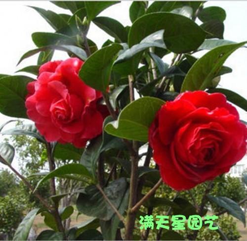Xingmiao camelias bonsai camelias seedlings indoor flower plants bonsai camelias xiaomiao(China (Mainland))