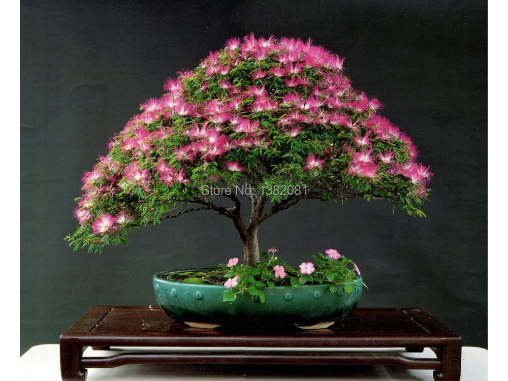Free shipping 50 / bag acacia tree seeds, French mini-sub Yan long flowering bonsai tree seeds, potted plants home decor