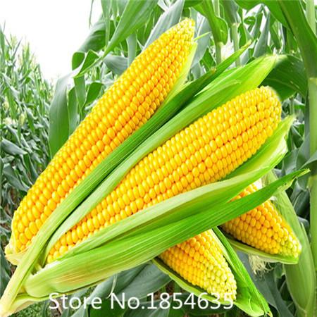 High quality Rainbow corn seeds, vegetables, grains and miscellaneous good quality maize seed, 30 particles / bag(China (Mainland))