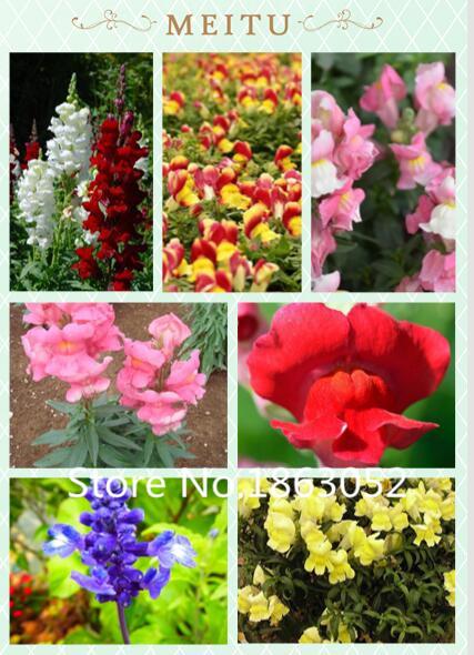 Bonsai Seed 100 Linaria maroccana Seeds, snapdragon mix color reseed itself Easy to grow(China (Mainland))
