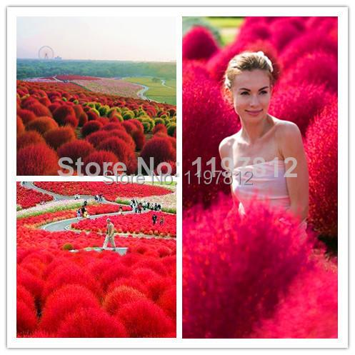 On sale !!! Only $1.99/ 200pcs Summercypress Seeds,Grass Burning Bush Kochia scoparia KOCHIA SCOPARIA GRASS+Free shipping(China (Mainland))