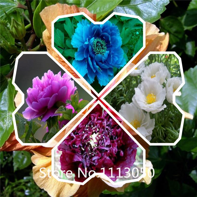 New Arrival! chinese peony,peony root seeds, - 10 pcs peony seeds flower seeds(China (Mainland))