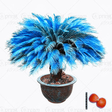 Buy 1pcs/bag blue Cycas seeds, Sago Palm Tree seeds.bonsai flower seeds,the budding rate 97% rare potted plant home garden for $1.03 in AliExpress store