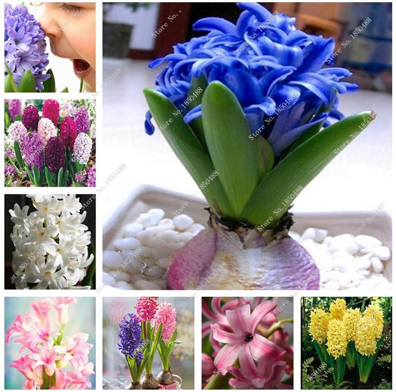 Plantas de folhagem colorida popular buscando e comprando for Jacinto planta interior