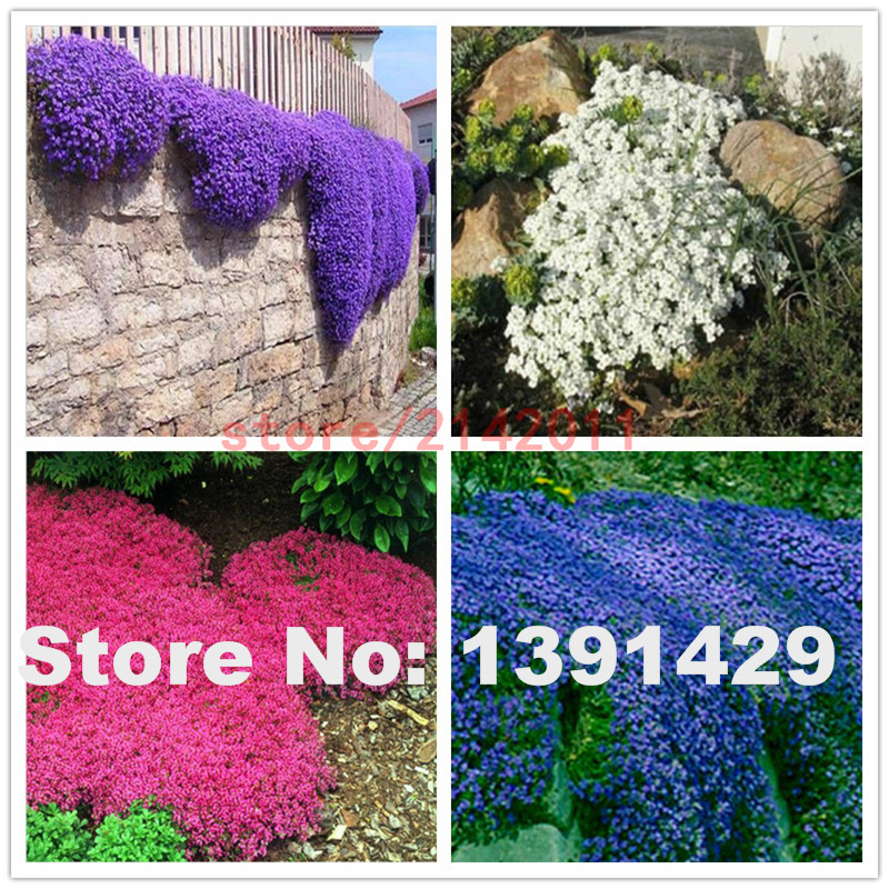 100pcs/bag Mixed Creeping Thyme Seeds or Blue ROCK CRESS Seeds - Perennial Ground cover flower ,Natural growth for home garden(China (Mainland))
