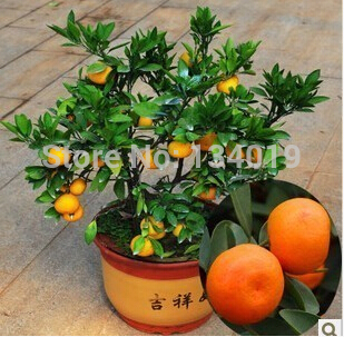 100pcs/bag, Balcony patio potted fruit trees planted seeds, kumquat seeds, orange seeds, tangerine, citrus,(China (Mainland))
