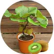Kiwi Fruit Seeds Potted Plants Mini Tree Nutrition is Rich Beautiful Bonsai fruit trees Kiwi Seed Peach 100 PCS(China (Mainland))